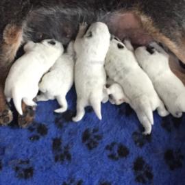 Pups van Skipper zijn geboren