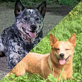 Pups van Yoko & Dynamite verwacht